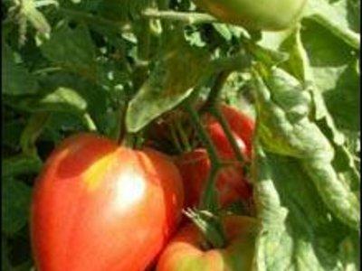 Irinas Tomaten