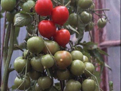 Www.Irinas-Tomaten.De
